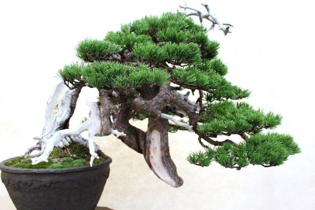 Bonsai scots pine