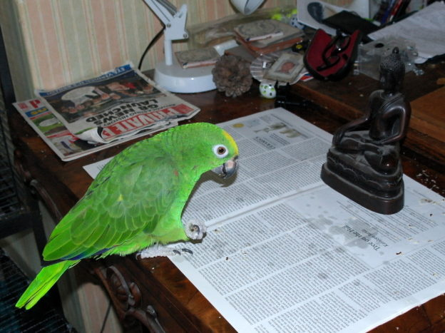 Maya, the parrot doing her morning bows to a Buddha statue